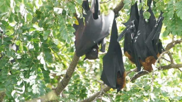 Bats lyle's flying fox.