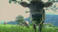 CU Bavarian cow grazing on meadow, Bavaria, Germany