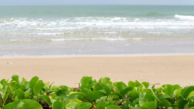 Beach and Morning glory tree.