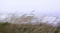 CU, Beach grass blowing on wind, Pacific Ocean, Oregon, USA
