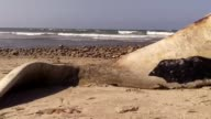 A beached whale over 40 feet long and weighing over 6000 pounds Footage taken at the Lower Trestles Beach at San Onofre State Beach near San Clemente...
