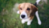 Beagle dog sitting in green grass and barking