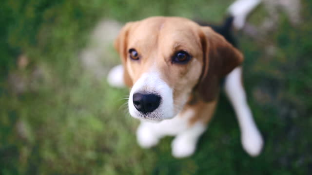 Beagle dog sitting in green grass and barking
