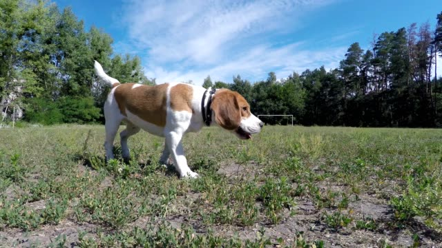 Beagle läuft im Feld.