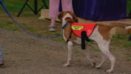 MS Beagle wearing vest saying ADOPT ME walking with volunteer during Arlington Walk for Animals / Arlington, Virginia, United States