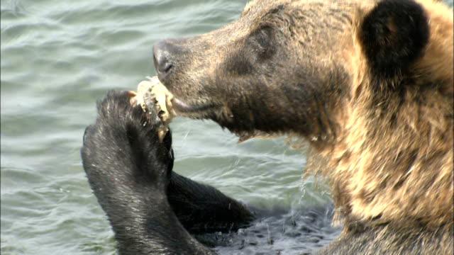 Bear eats salmon in river, Shiretoko Peninsula, Hokkaido