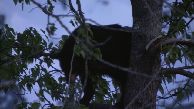 A bear forages for leaves high in a tree.