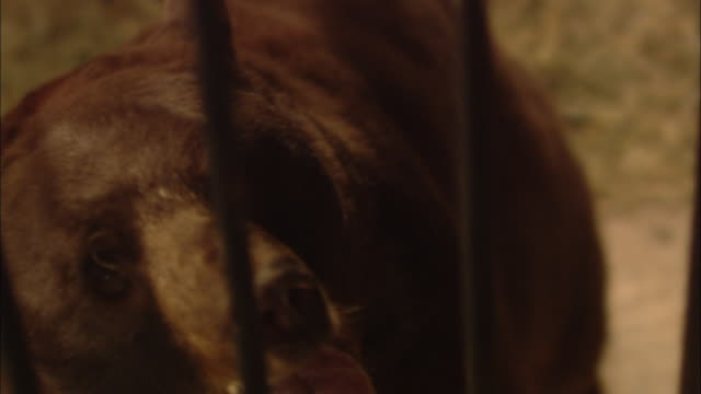 A bear growls aggressively as a flaming torch passes by the bars of its cage.