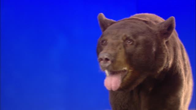 A bear growls and roars against a blue screen.