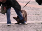 Bear on Leash, Lead, Leach In Public Square