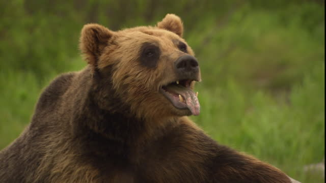 A bear pants with its tongue hanging out of its mouth.