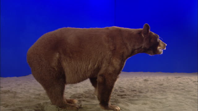 A bear paws at sand in front of a blue screen.