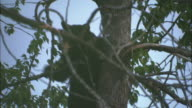 A bear perches on a tree limb before climbing higher into the tree.