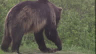 A bear tries to snap a piece of carcass in its paws.