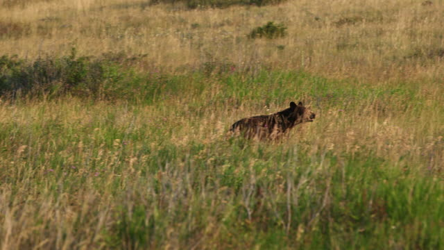 Bear walking thru field