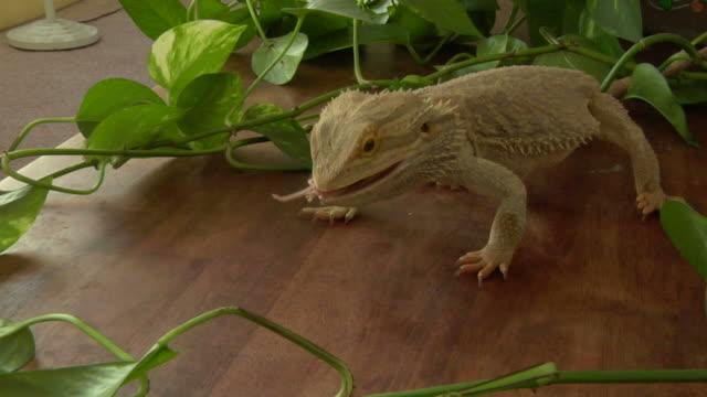 Bearded dragon eats lunch