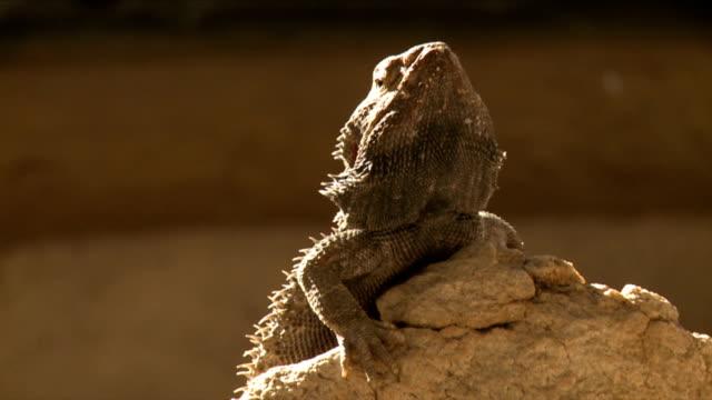 Bearded Dragon Lizard on a rock/ Etosha National Park/ Namibia