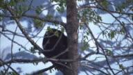 Bears climb in a tree.