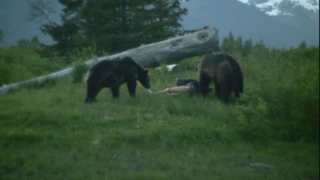Bears inspect a dummy in a field.