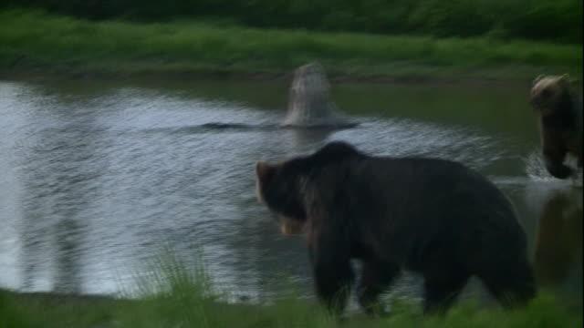 Bears splash and play around a mountain lake.