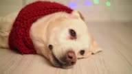 beautiful adult labrador in a red scarf