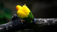 Beautiful bird, Sun Conure bird ,lovebirds