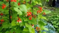 Beautiful blooming plants of kidney bean VIDEO