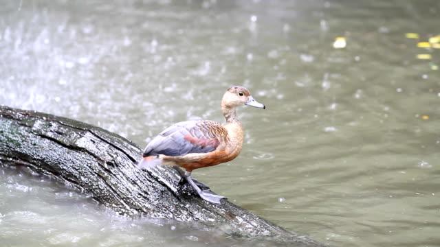 Beautiful brown duck