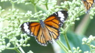 beautiful butterfly absorb some sweet from  flowers