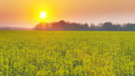 HD DOLLY: Beautiful Canola Field At Sunset