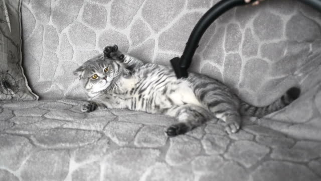 beautiful cat cleans itself with vacuum cleaning
