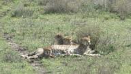Beautiful Cheetah Family Resting