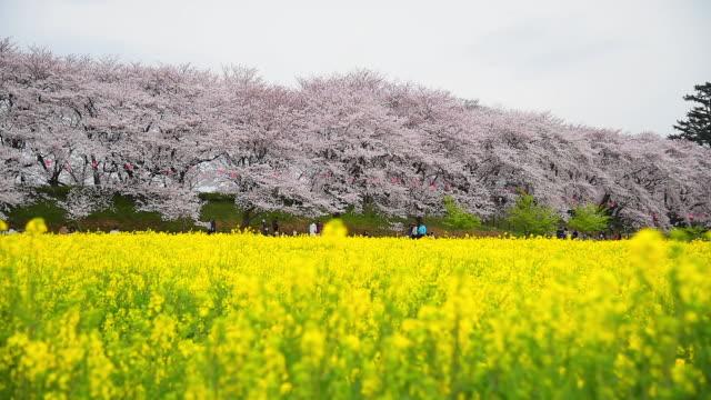 Beautiful Cherry Blossom and Canola Flower at Gongendo Park in Saitama Japan