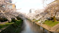 beautiful cherry blossom over river