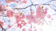 Beautiful cherry tree in bloom on a sunny day