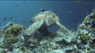 Beautiful close up of turtle pausing on coral whilst tropical fish circle around