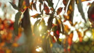 Beautiful colorful leaves with sun flare in slow motion