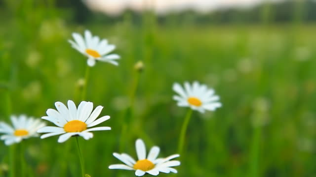HD DOLLY: Beautiful Daisies