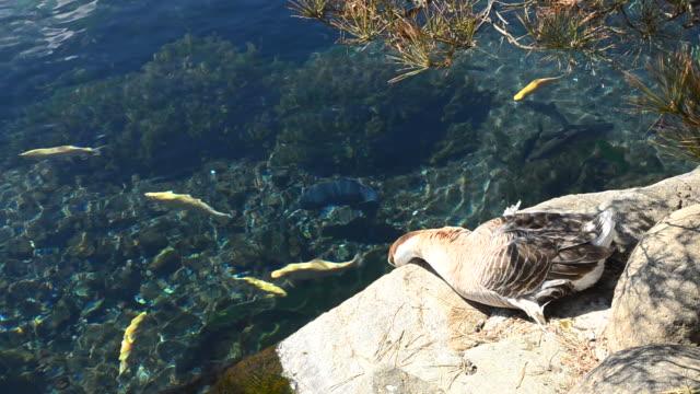 Beautiful goose and blue lake
