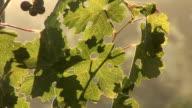 Beautiful grape leaf on the sunset