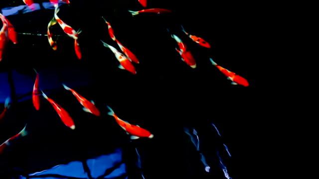 beautiful koi fish in water