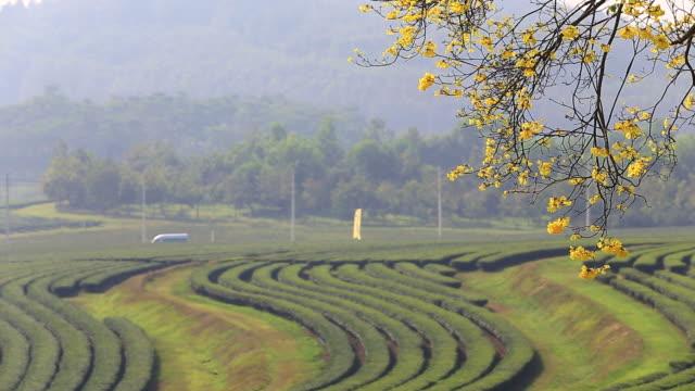 Beautiful landscape shot of green tea field