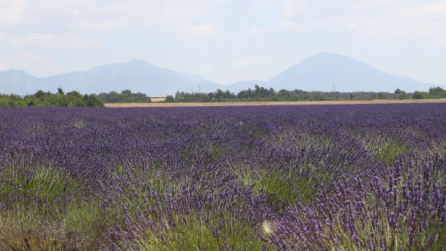 A beautiful lavender field in the Provence in France near the village Valensole mountains can be seen in the background