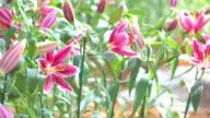 beautiful lily flower, 4k