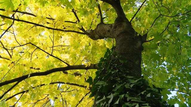 HD DOLLY: Beautiful Maple Tree