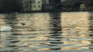 Beautiful morning view from the Moldava river with swans in the Prague city with the view of the cityscape and Charles Bridge.