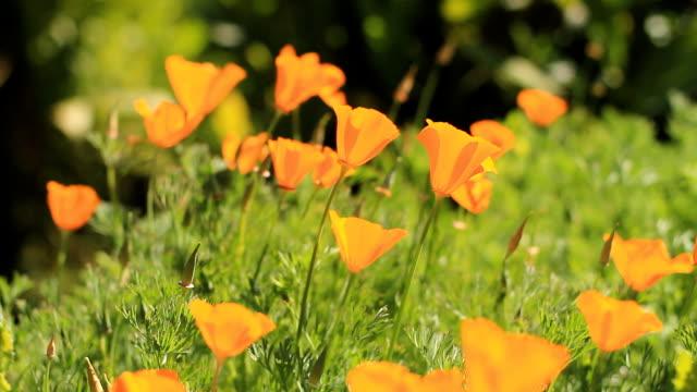 Beautiful Orange Poppies