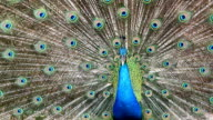 Beautiful peacock with feathers out. 1920x1080 Format