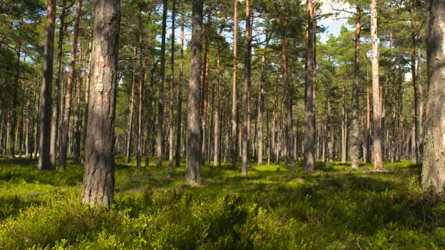 Beautiful pine forest