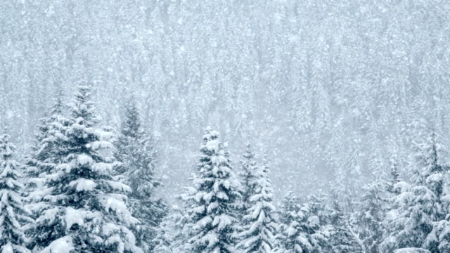 Beautiful pines under snow, loopable